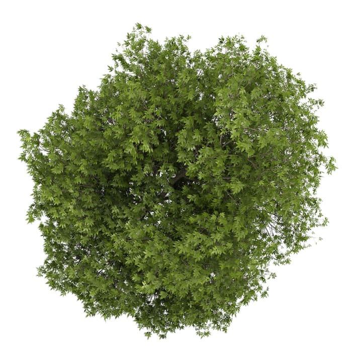 White Ash 1 (Fraxinus americana)