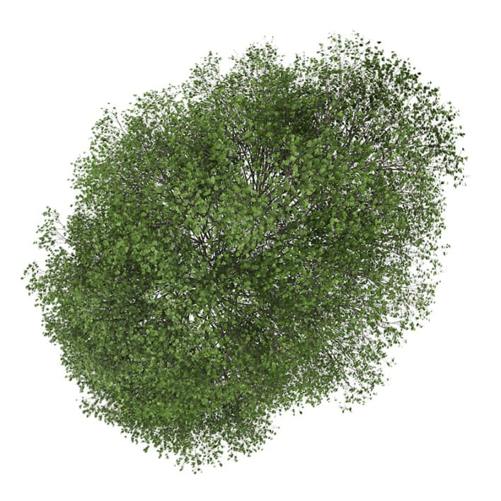Small-leaved Lime 1 (Tilia cordata)