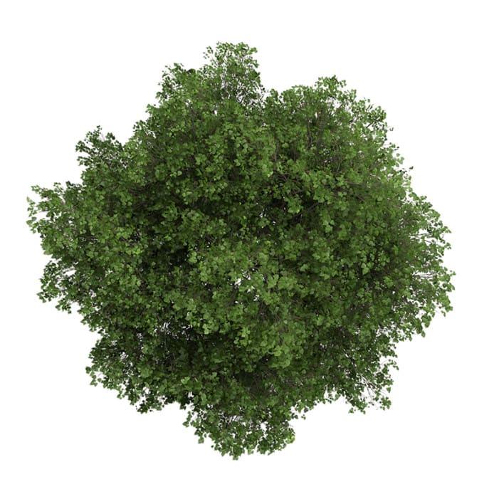 Small-leaved Lime 3 (Tilia cordata)