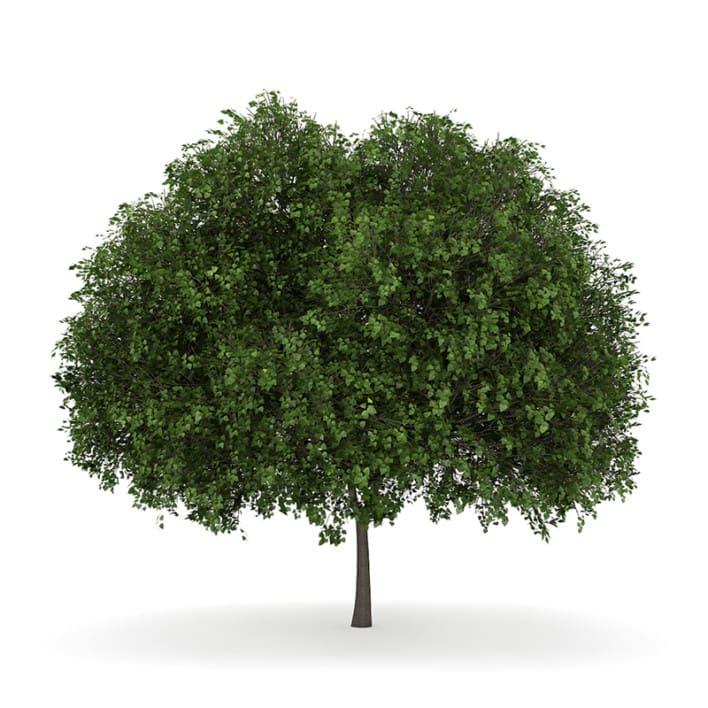 Small-leaved Lime 5 (Tilia cordata)