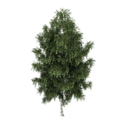 Silver Birch 2 (Betula pendula)
