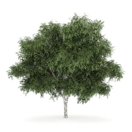 Silver Birch 4 (Betula pendula)