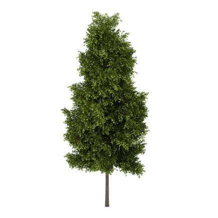 Poplar 1 (Populus)