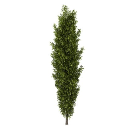 Poplar 2 (Populus)