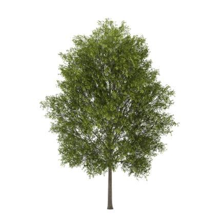 Poplar 3 (Populus)