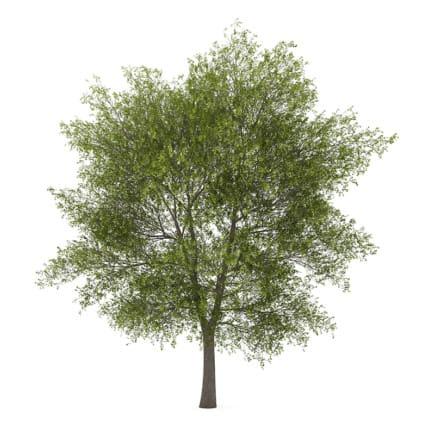 Poplar 4 (Populus)