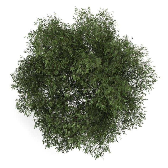English Oak 2 (Quercus robur)
