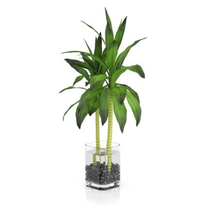 Bamboo Plant in Glass Pot