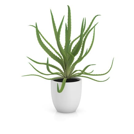 Aloe in White Pot