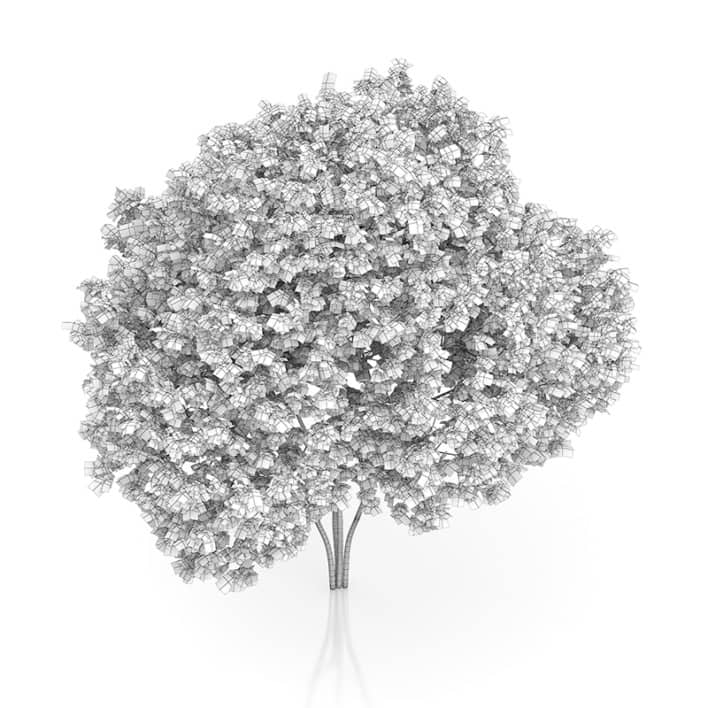 Elderberry Tree (Sambucus nigra) 3.7m