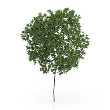 Elderberry Tree (Sambucus nigra) 3.3m