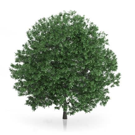 Common Hornbeam Tree (Carpinus betulus) 10.7m