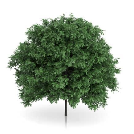 Common Hornbeam Tree (Carpinus betulus) 4.6m