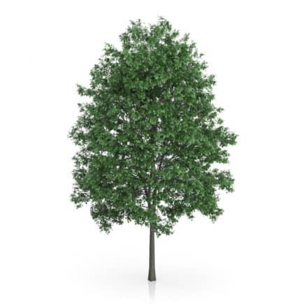 Common Hornbeam Tree (Carpinus betulus) 14.5m