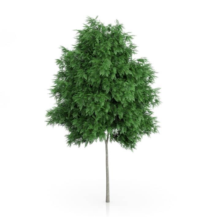 Rowan Tree (Sorbus aucuparia) 6.2m