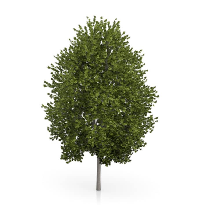 Norway Maple Tree (Acer platanoides) 4.5m