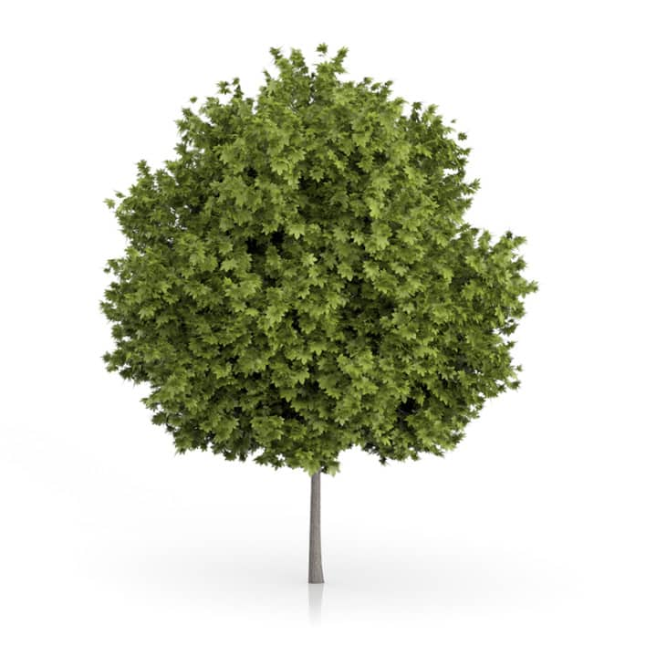 Norway Maple Tree (Acer platanoides) 7.8m