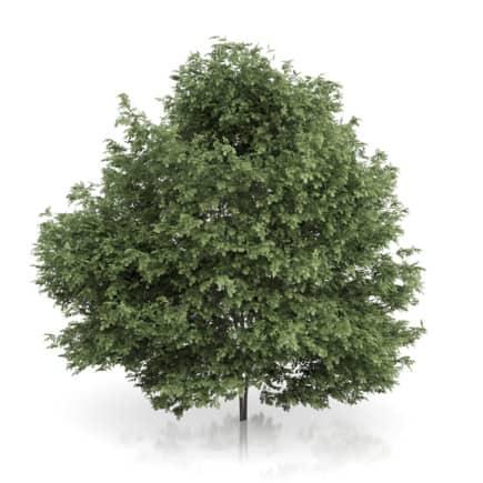 Common Hazel Tree (Corylus avellana) 4.6m