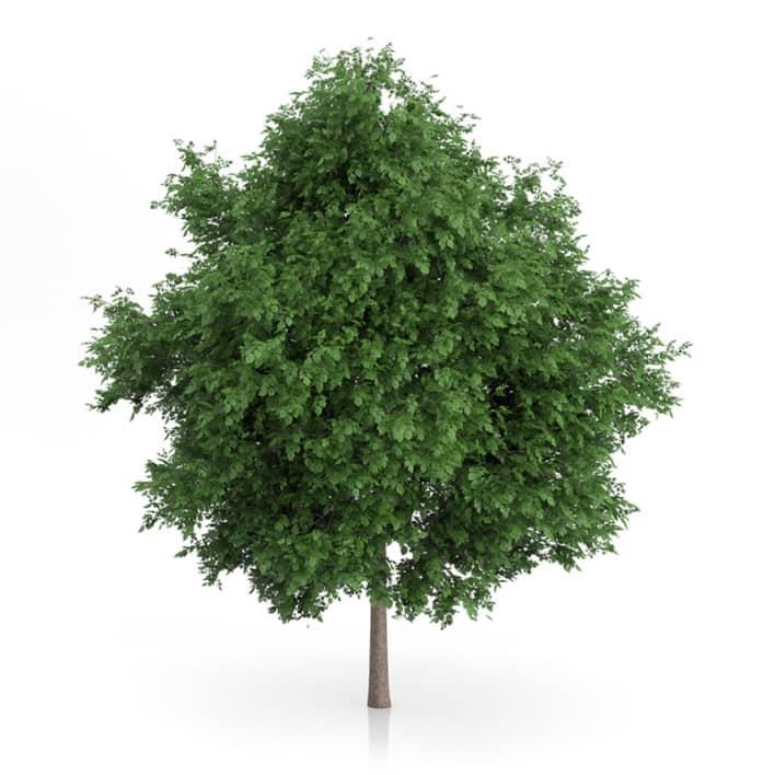 Large-leaved Lime Tree (Tilia platyphyllos) 7.2m