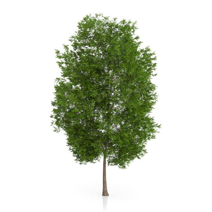 Maidenhair Tree (Ginkgo biloba) 10.3m