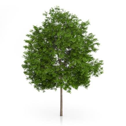 Maidenhair Tree
