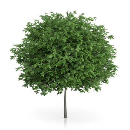 Cigar Tree