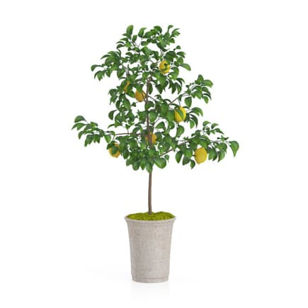 Potted Lemon Tree