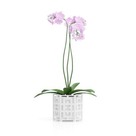 Orchid Flower in Hexagonal Pot