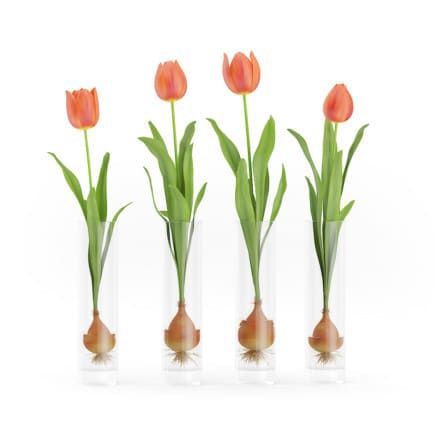 3d Four Tulips in Glasses
