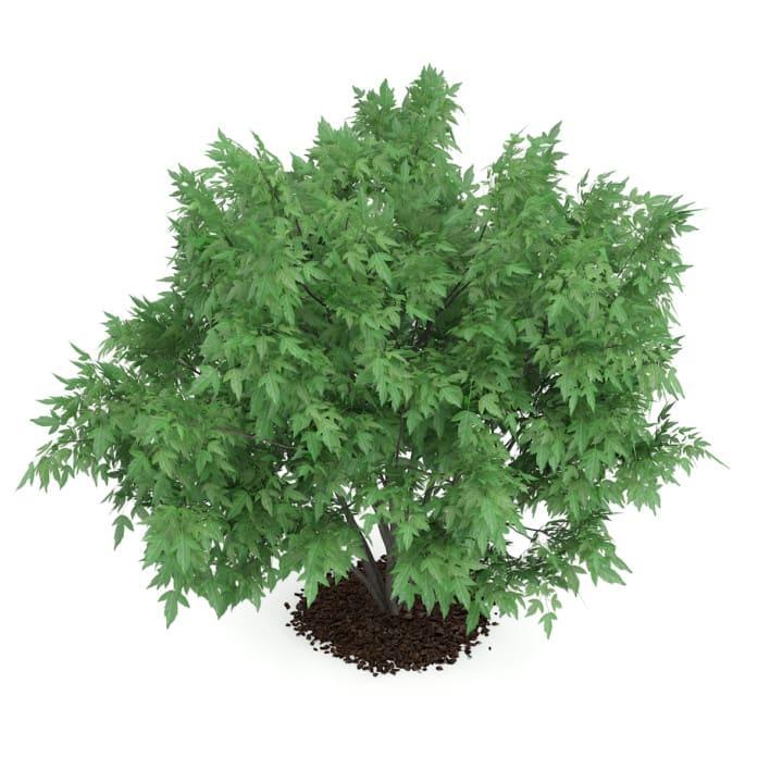 3d Amur Maple
