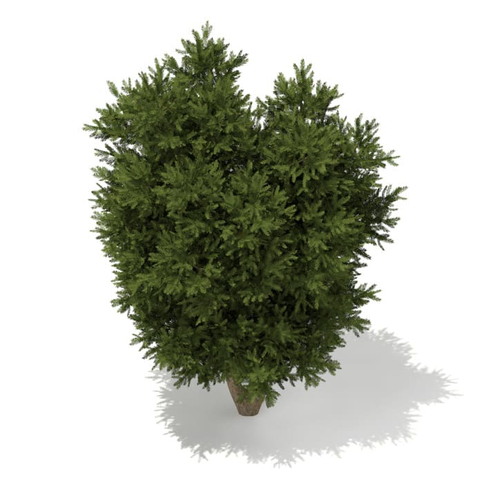 3d European Yew