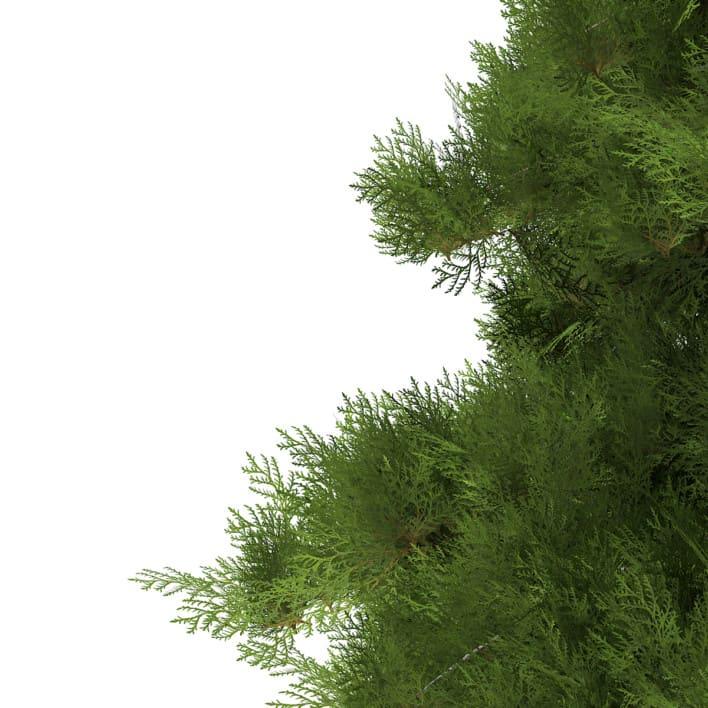 3d White Cedar
