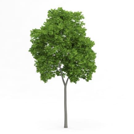 Wild Service Tree