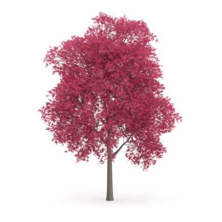 Palmate Maple