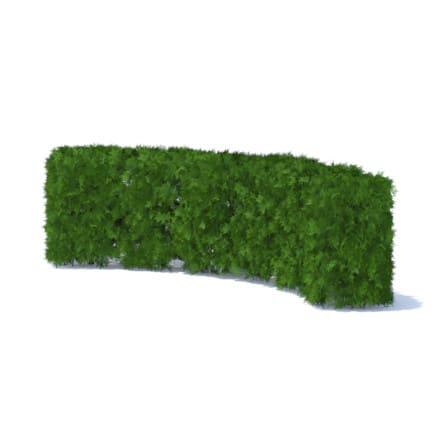 Curved Thuja Hedge