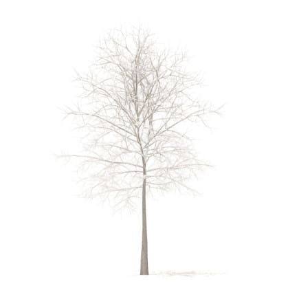 Sugar Maple with Snow 3D Model 7.3m