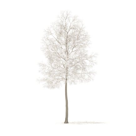 American Elm with Snow 3D Model 6.2m