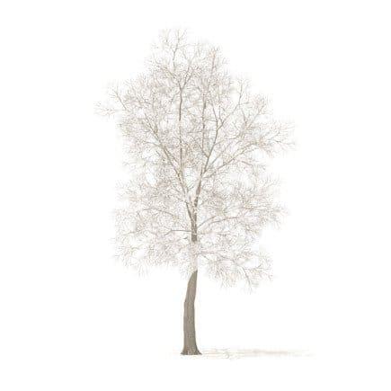American Elm with Snow 3D Model 8.5m