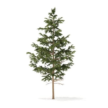 Pine Tree 3D Model 5.5m