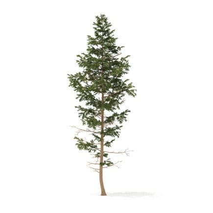 Pine Tree 3D Model 14m