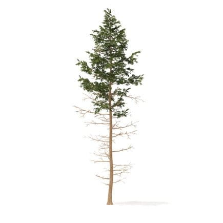 Pine Tree 3D Model 16m