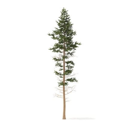 Pine Tree 3D Model 25m