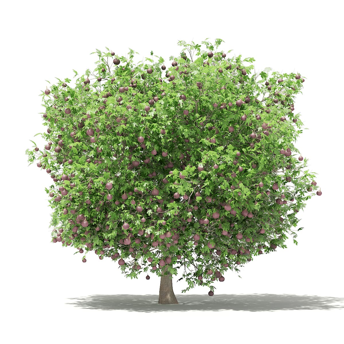 Common Fig Tree with Fruits 3D Model 3.3m