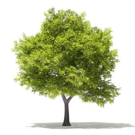Japanese Maple 3D Model 5.7m