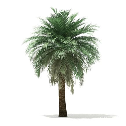 Butia Palm Tree 3D Model 5.2m