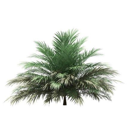Butia Palm Tree 3D Model 2m