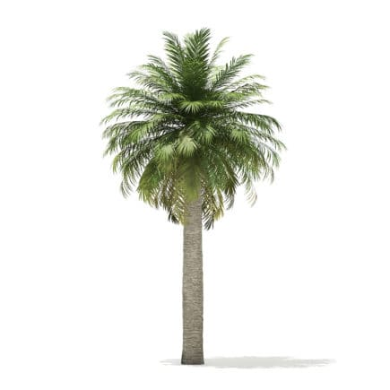 Chilean Wine Palm 3D Model 8m