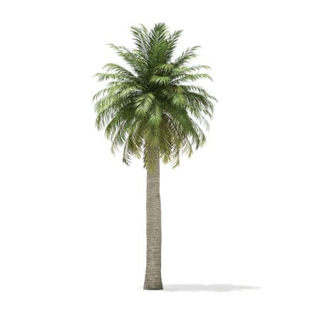 Chilean Wine Palm 3D Model 9.7m