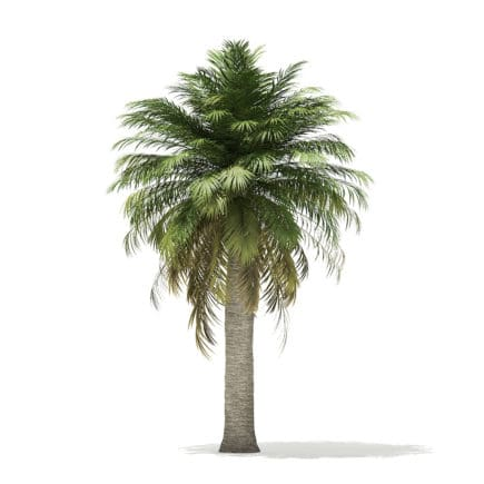 Chilean Wine Palm 3D Model 7.2m