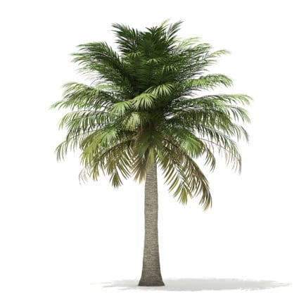 Chilean Wine Palm 3D Model 6m